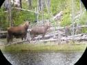 Moose in Naramata, BC