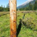 """Grizzly bear rub """"tree"""" = power pole"""