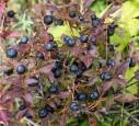 Ripe black huckleberry