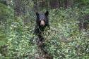 Black bear mom in buffaloberry (Sheperdia canadensis)