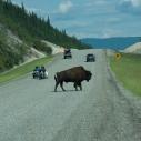 Bison near Liard, BC