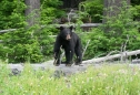 Black bear in NW BC