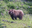 Grizzly bear in Fording River, BC