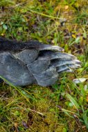 Grizzly foot