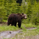 Grizzly bear in upper Elk Valley, BC